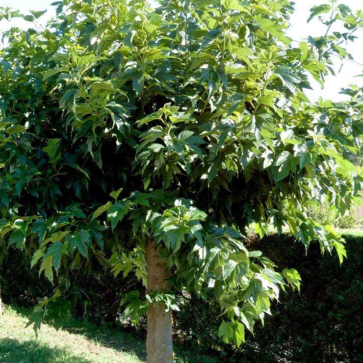 Sans fruits Mûrier platane (Morus bombycis, syn. Morus kagayamæ)