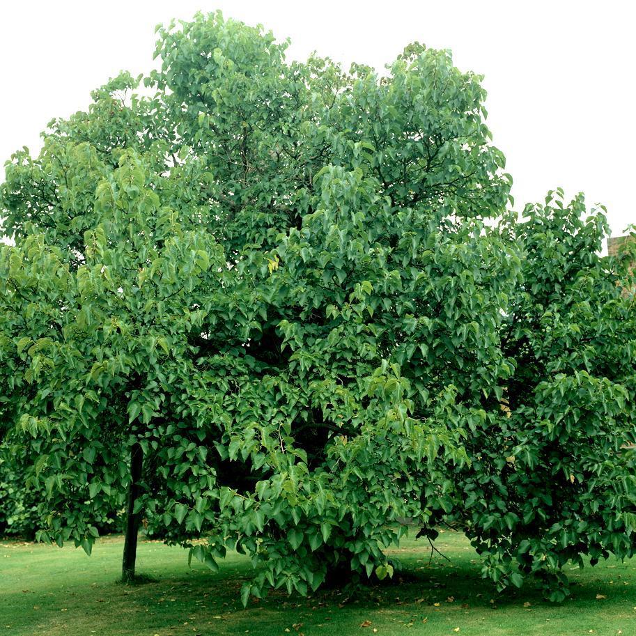 Fruits comestibles Mûrier blanc (Morus alba)