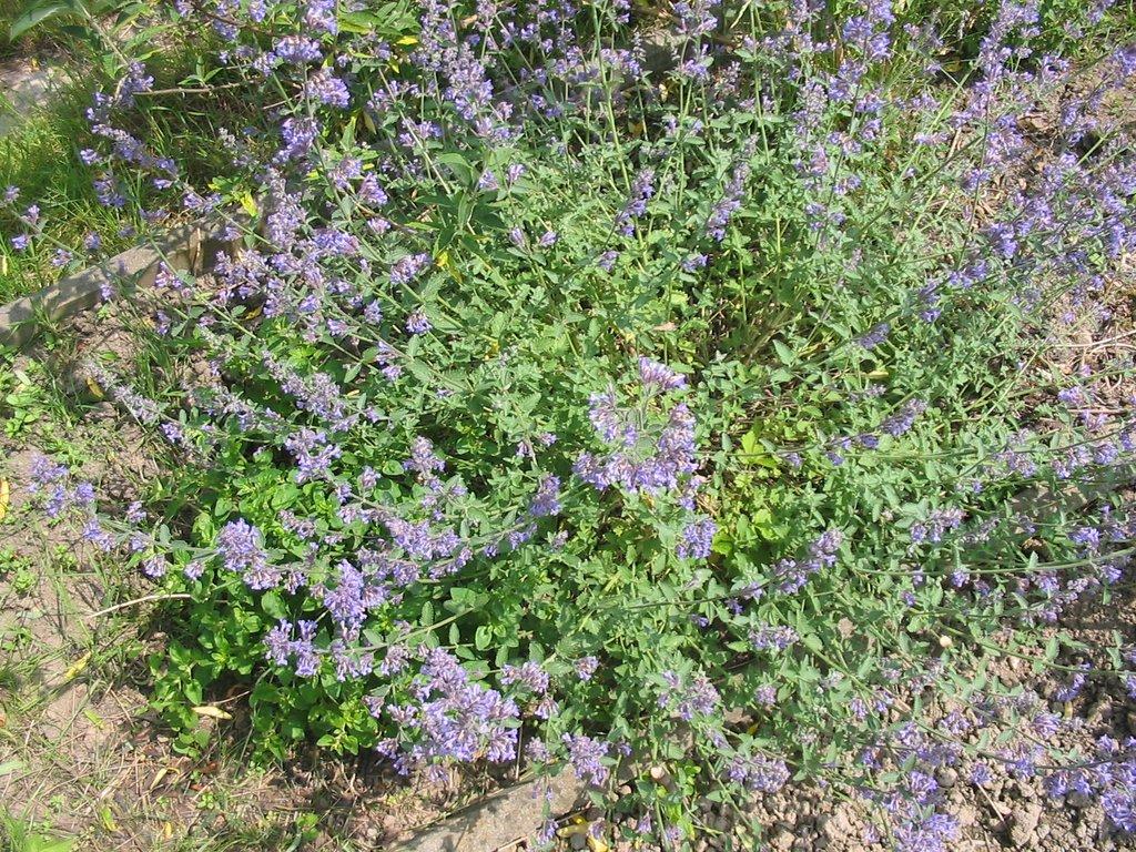 Nepeta planter et cultiver ooreka - Couper les feuilles en fin de floraison ...