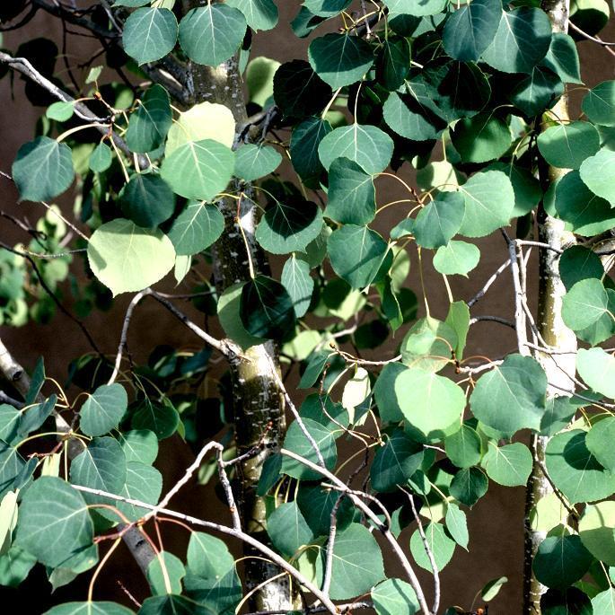 Variétés de taille moyenne Tremble (Populus tremula)