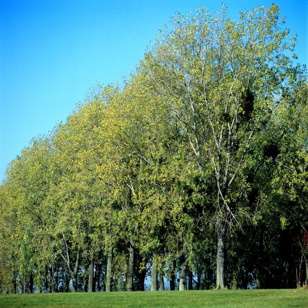 Variétés de grandes tailles Peuplier noir (Populus nigra)