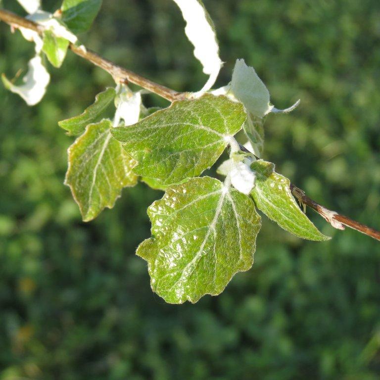 Variétés de grandes tailles Peuplier grisard (Populus x canescens) et divers cultivars