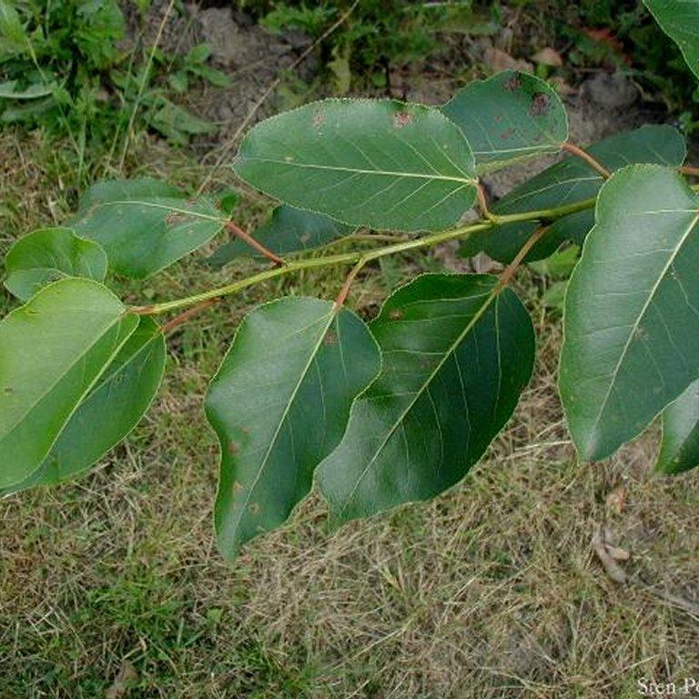 Variétés de grandes tailles Peuplier baumier de l'Ouest (Populus trichocarpa)