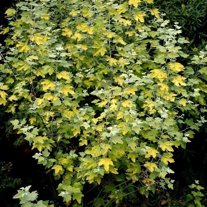Variétés de grandes tailles Peuplier blanc ou peuplier de Hollande (Populus alba)