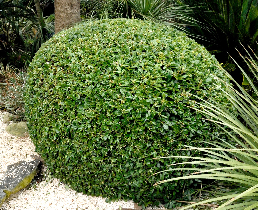 Pittosporum planter et tailler ooreka - Faut il couper les pivoines apres floraison ...