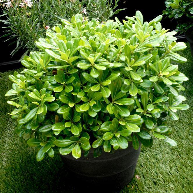 Variétés de petite taille Pittosporum tobira 'Nana'