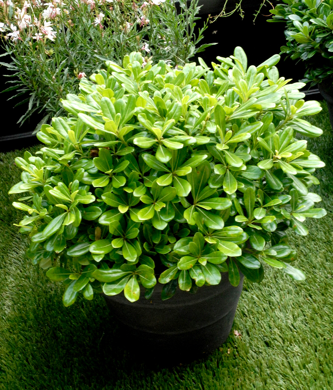 pittosporum planter et tailler ooreka