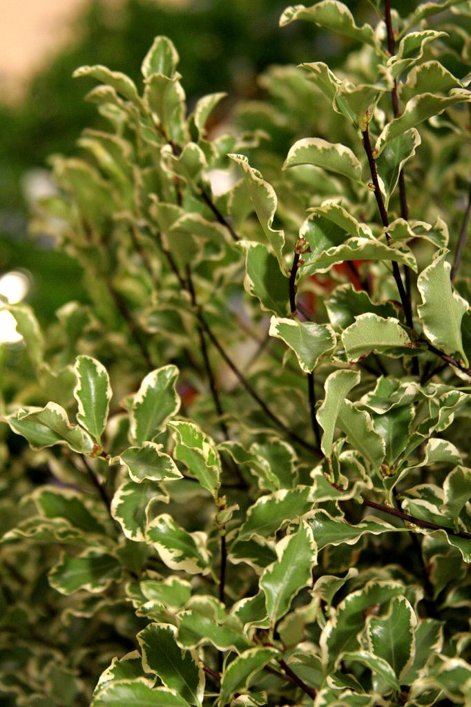 Pittosporum planter et tailler ooreka - Poinsettia perd ses feuilles ...