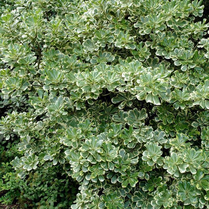 Variétés de taille moyenne Pittosporum tobira 'Variegata'
