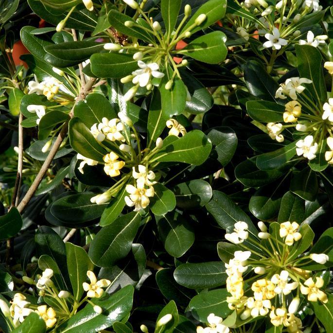 Variétés de grande taille Pittosporum tobira
