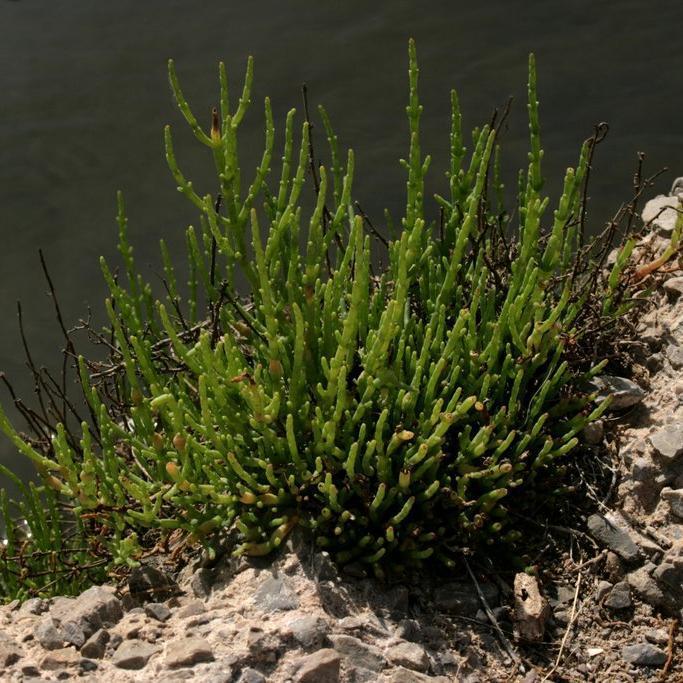 Salicorne vivace Sarcocornia perennis