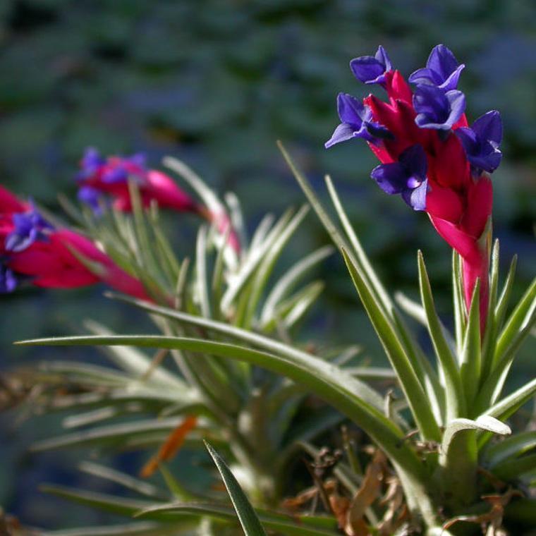 Fleur d'air, œillet de l'air (Tillandsia aeranthos)