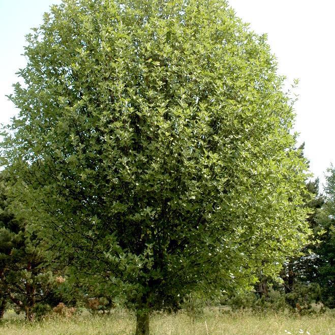 Alisiers Alisier blanc, alouchier (Sorbus aria)