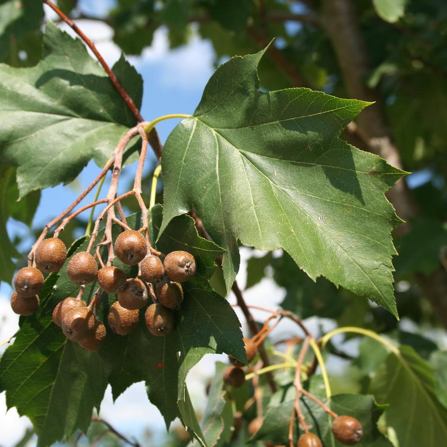 Alisiers Alisier torminal, alisier des bois (Sorbus torminalis)
