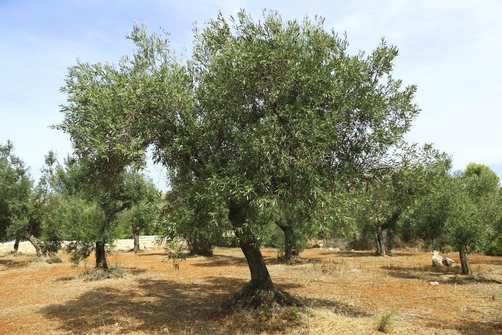 olivier : planter et tailler – ooreka