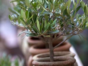 Culture et entretien de l'olivier