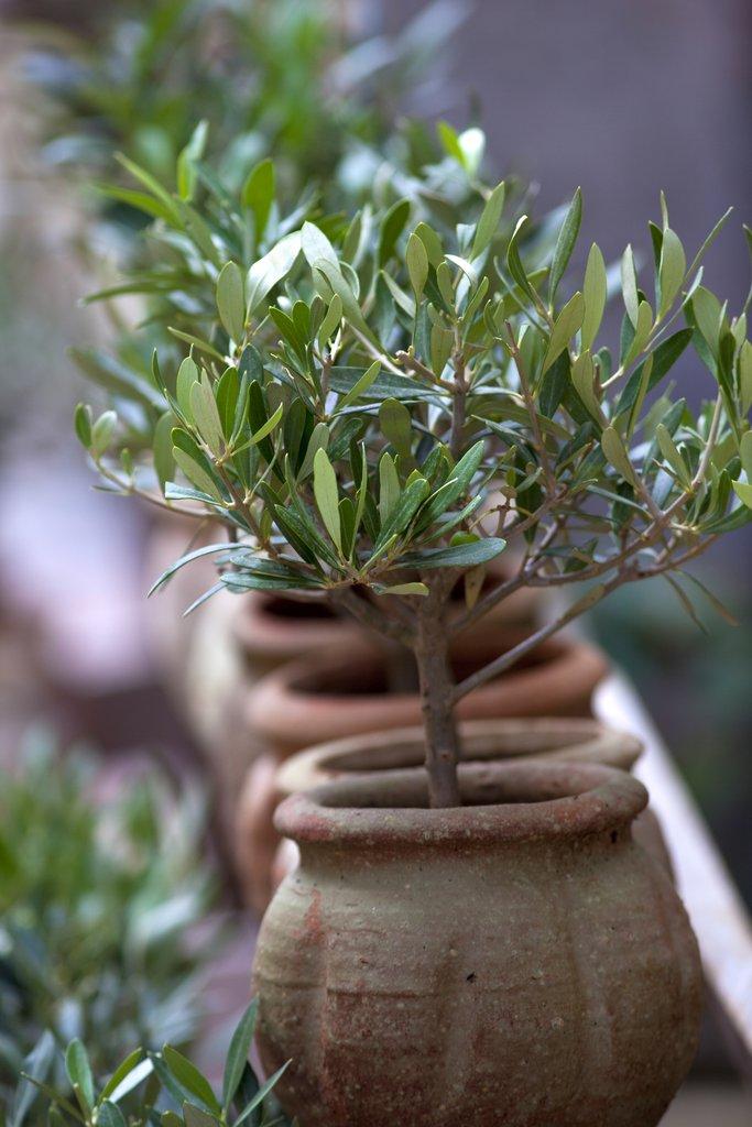 comment planter un olivier cool comment arroser un olivier jardinage ooreka with comment. Black Bedroom Furniture Sets. Home Design Ideas