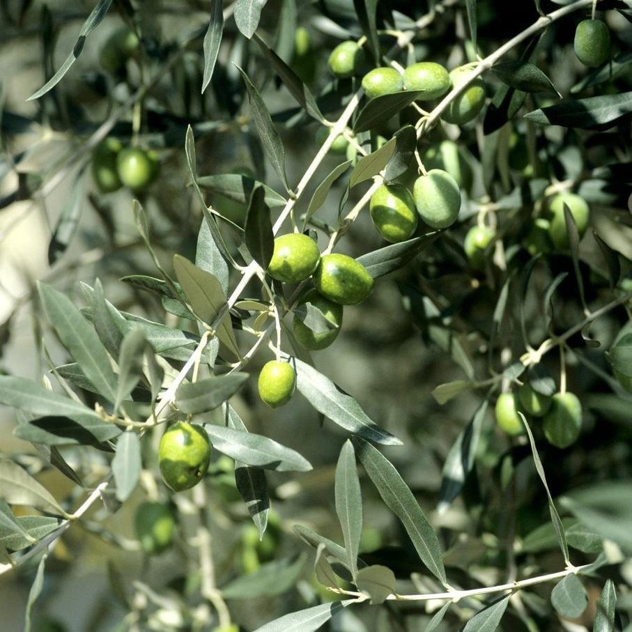 Variétés à huile 'Aglandau' ou 'Verdale de Carpentras' ou 'Berruguette' ou 'Blanquette' ou 'Plant d'Aix'