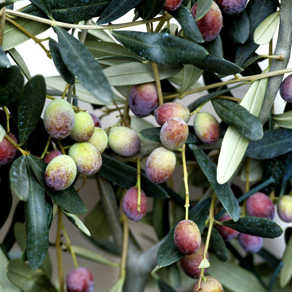 Variétés à huile 'Cipressino'