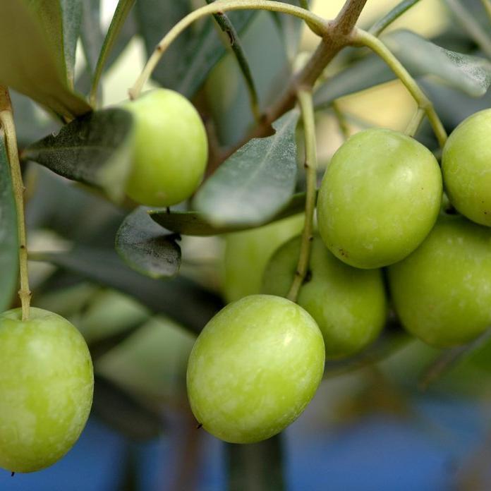 Variétés à huile + olives noires 'Belgentieroise'