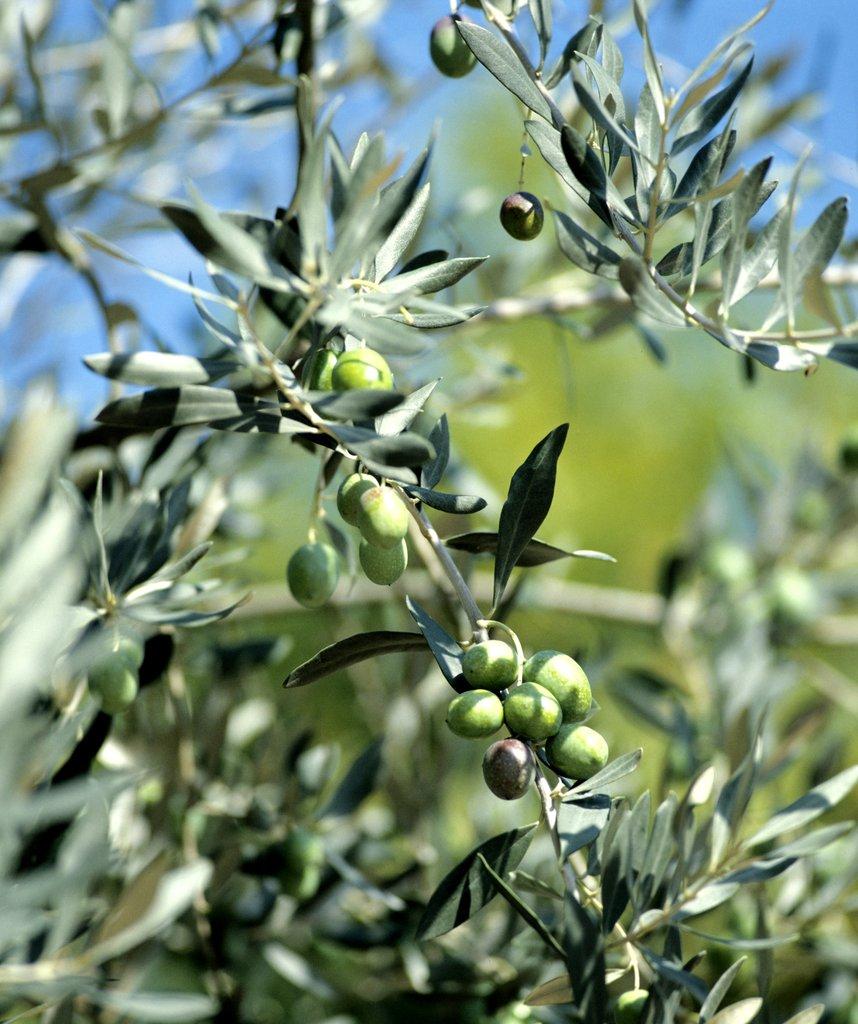 Olivier planter et tailler ooreka for Plante 4 images 1 mot