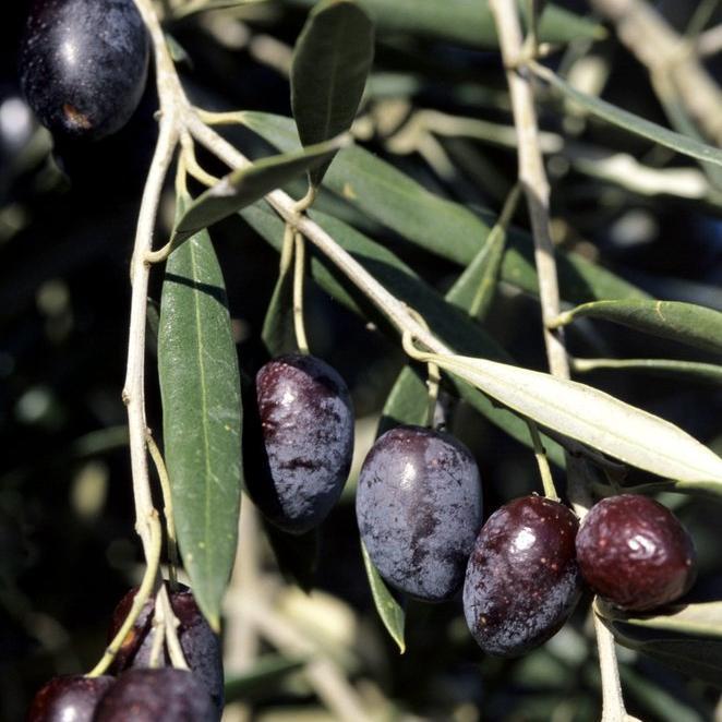 Variétés à huile + olives noires 'Cailletier' ou olive de Nice