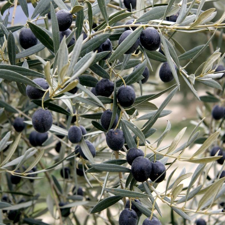 Variétés à huile + olives noires 'Tanche' ou olive de Nyons