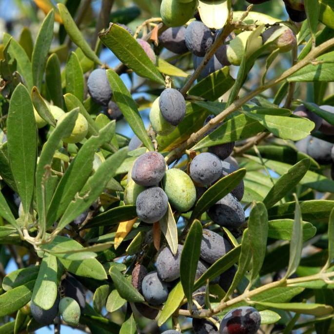 Variétés à huile + olives vertes 'Amellau'