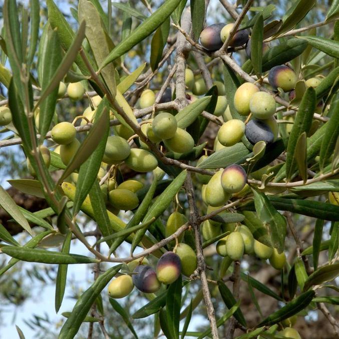 Variétés à huile + olives vertes 'Picholine'