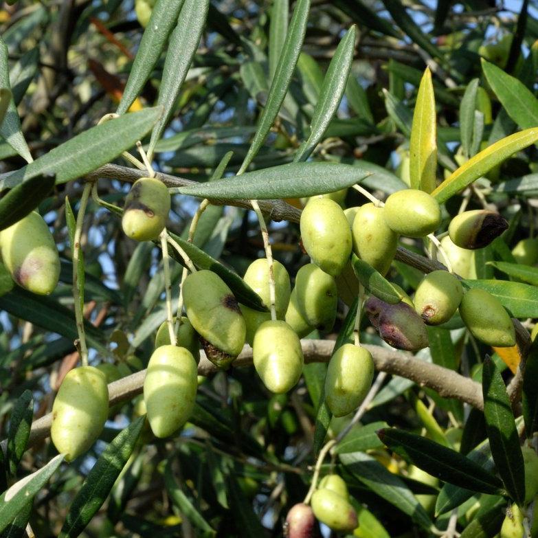 Variétés à huile + olives vertes 'Lucques'