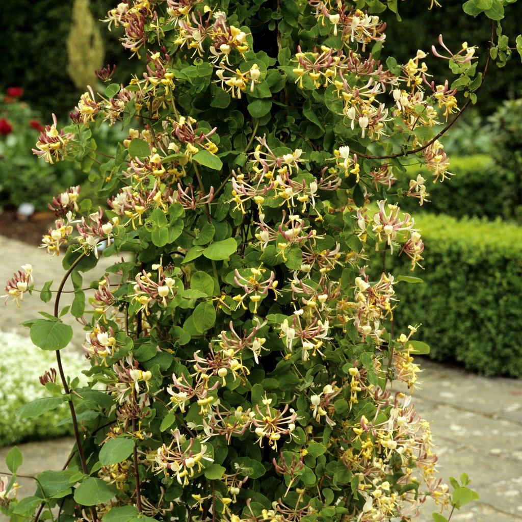 Ch vrefeuille planter et tailler ooreka - Les plus beaux arbustes persistants ...