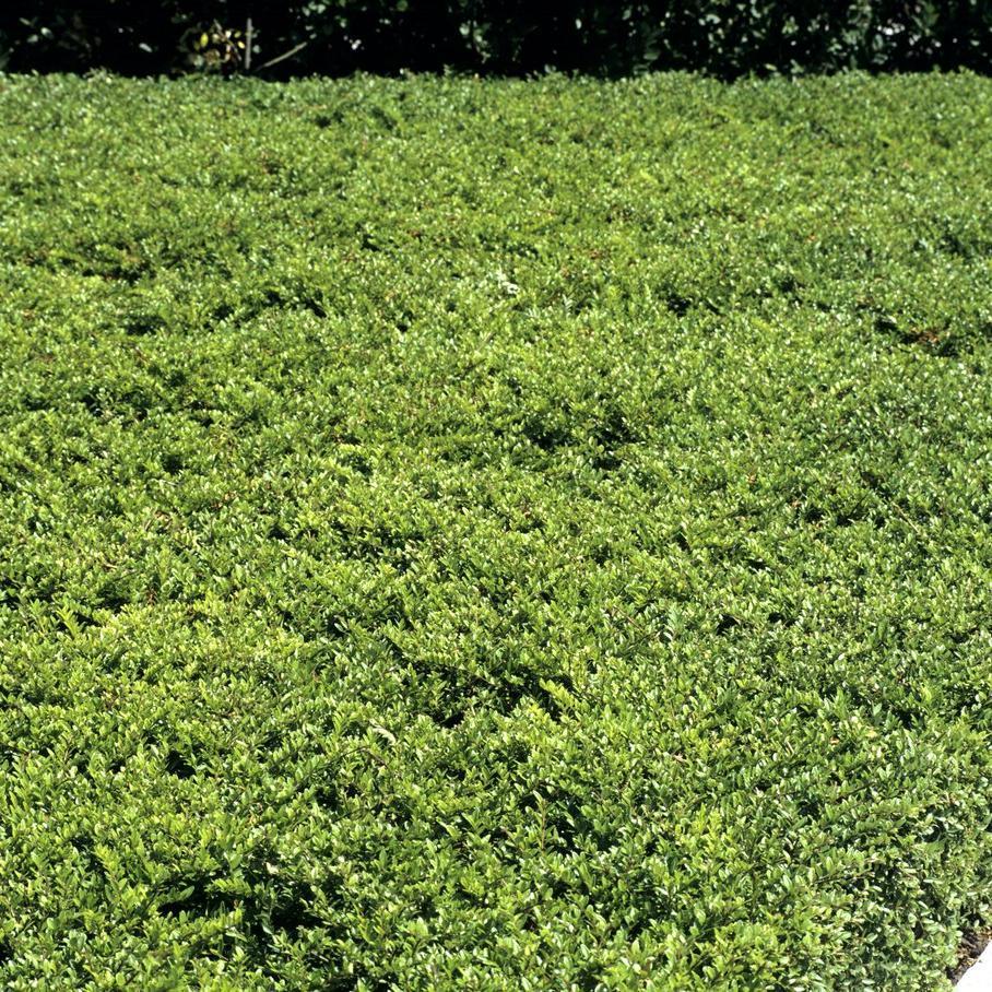 Couvre Sol Croissance Rapide chèvrefeuille : planter et tailler – ooreka