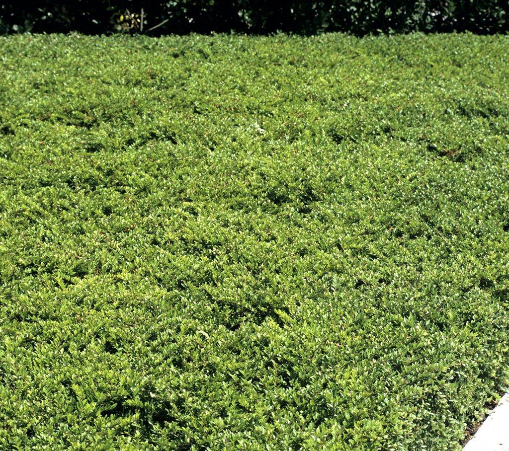 Ch vrefeuille planter et tailler ooreka - Plante couvre sol sans entretien ...