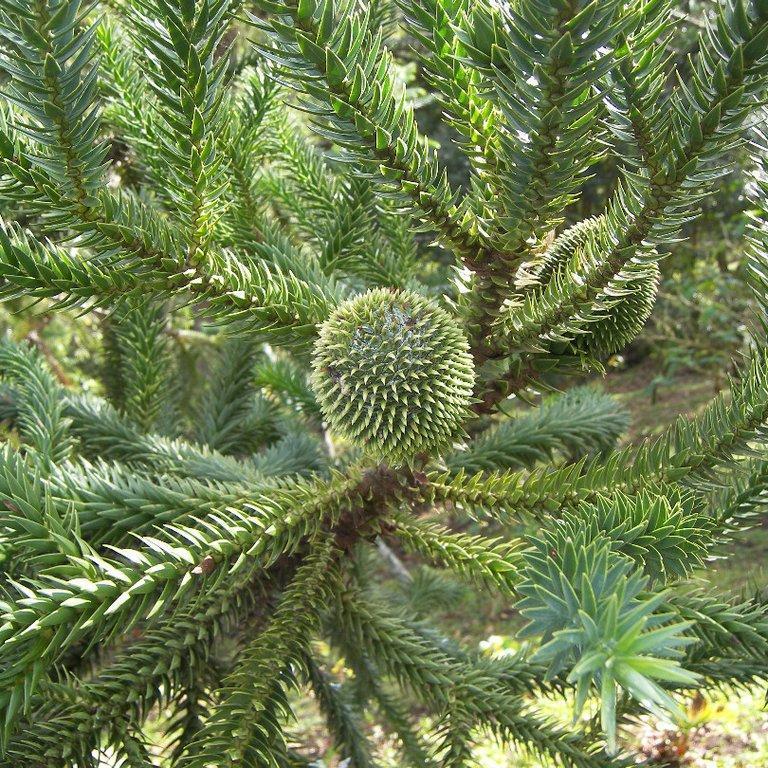 Autres espèces moyennement rustiques Araucaria du Brésil, pin de Paraná (Araucaria angustifolia)