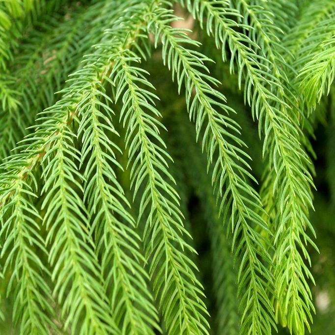 Araucaria planter et cultiver ooreka - Variete de sapin d ornement ...