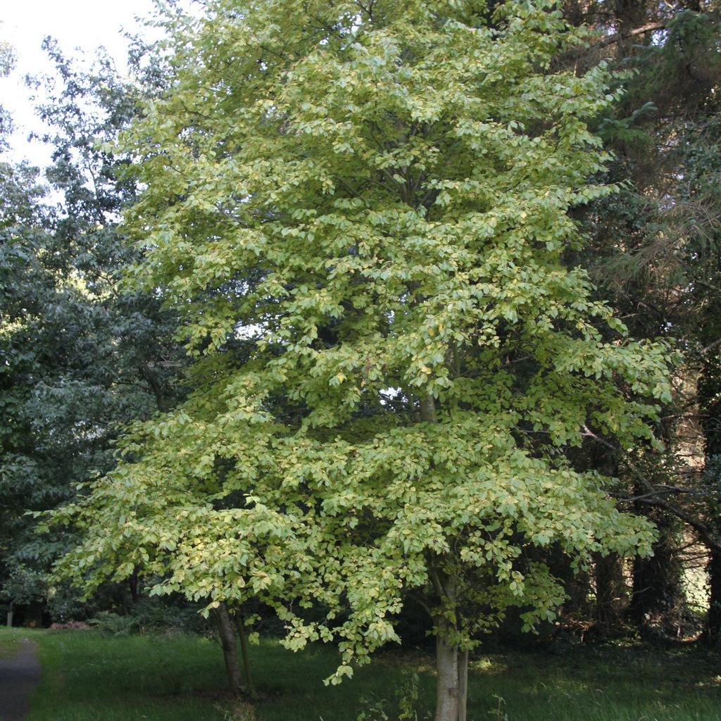 Aulne glutineux, verne ou vernes, vergnes, aulne commun (Alnus glutinosa) 'Aurea'