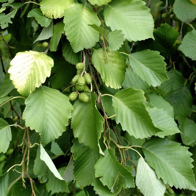 Aulne glutineux, verne ou vernes, vergnes, aulne commun (Alnus glutinosa) Espèce type