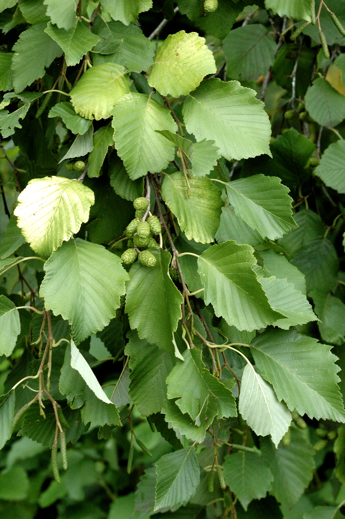 aulne   planter et cultiver  u2013 ooreka