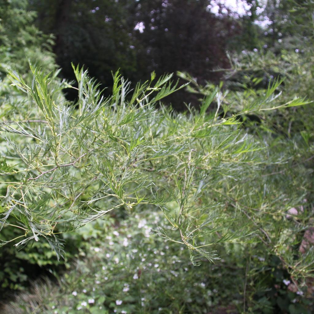 Aulne glutineux, verne ou vernes, vergnes, aulne commun (Alnus glutinosa) 'Imperialis'
