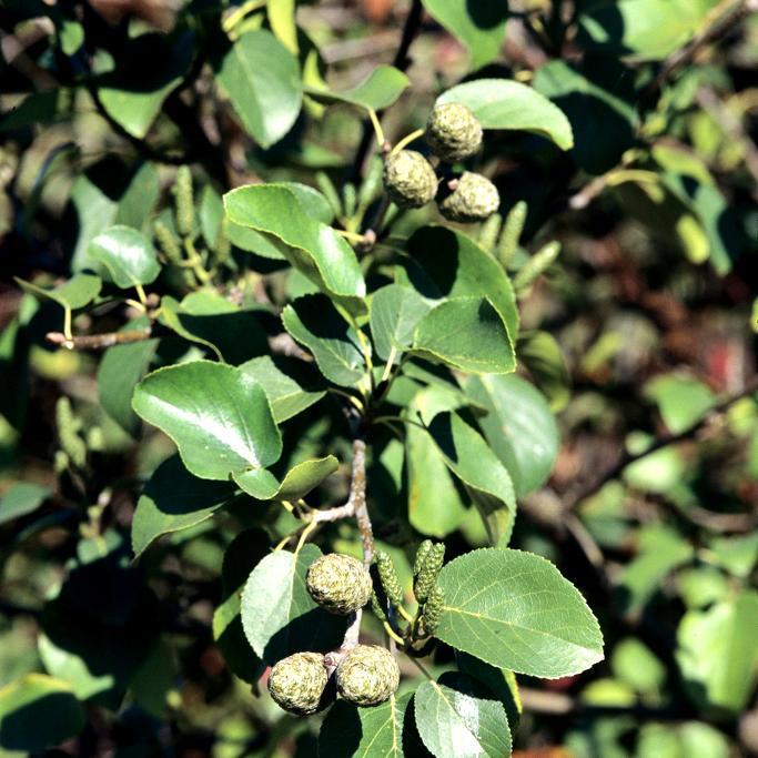 Aulne de Corse (Alnus cordata) Espèce type