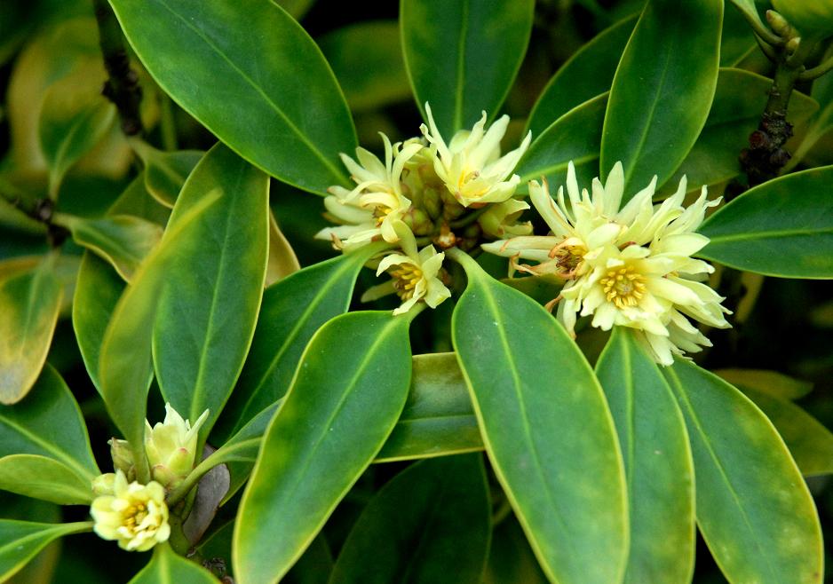 fleur anis etoile