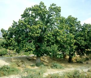 Plantation du châtaignier
