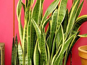 Multiplication de la sansevieria
