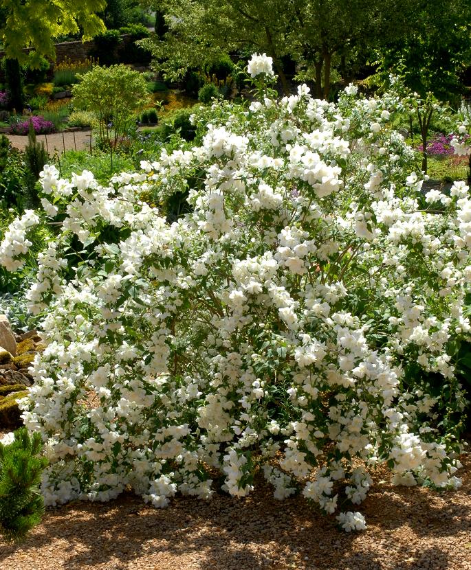 Seringat planter et tailler ooreka for Les plantes et le gel
