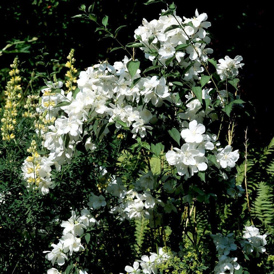 Variétés à fleurs simples Philadelphus coronarius