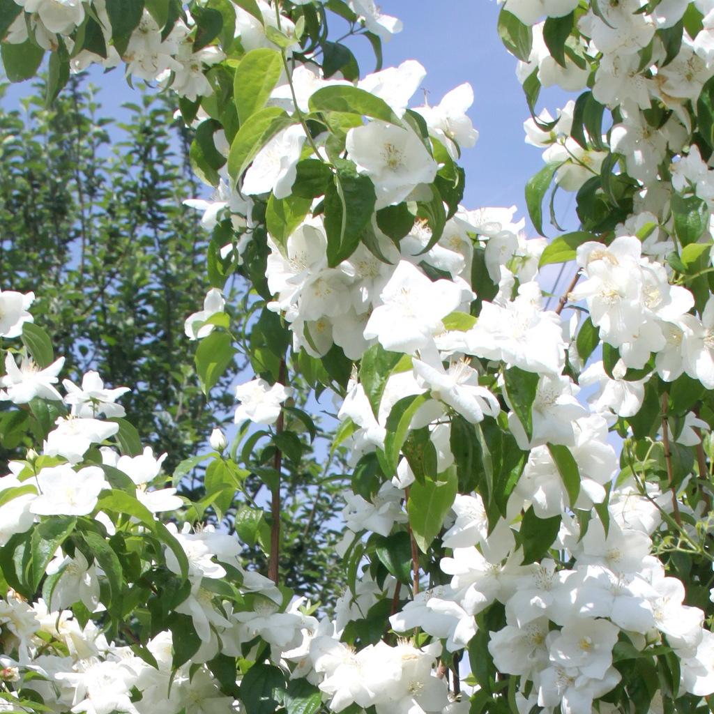 Variétés à fleurs simples Philadelphus 'Burfordensis'