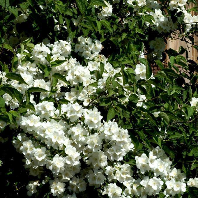 Variétés à fleurs doubles Philadelphus x virginalis 'Minnesota Snowflake'