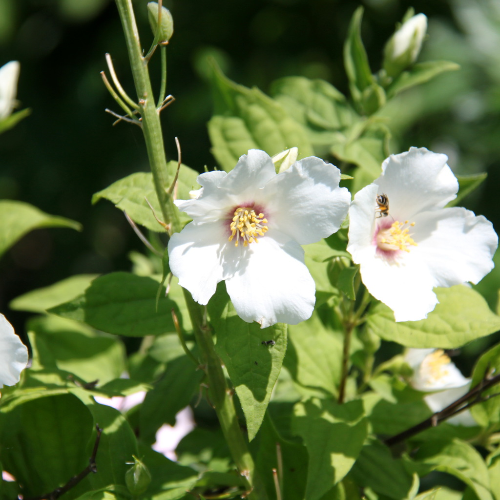 Variétés à fleurs simples Philadelphus purpureomaculatus 'Belle étoile'
