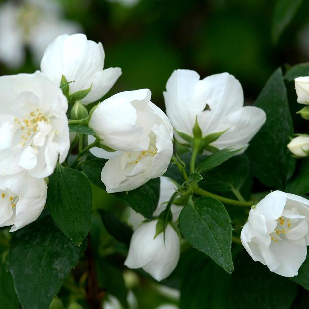 Variétés à fleurs doubles Sertingat virginal (Philadelphus x virginalis)
