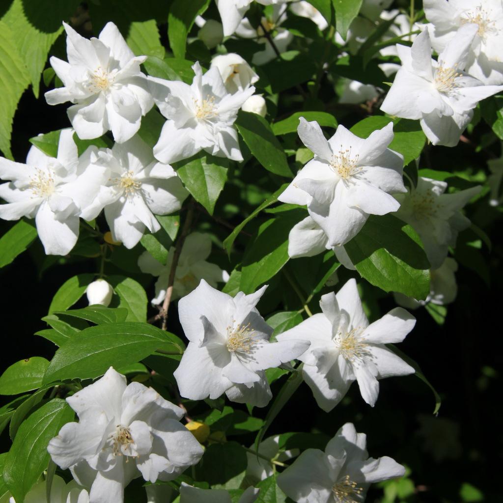 Variétés à fleurs simples Philadelphus x virginalis 'Natchez'